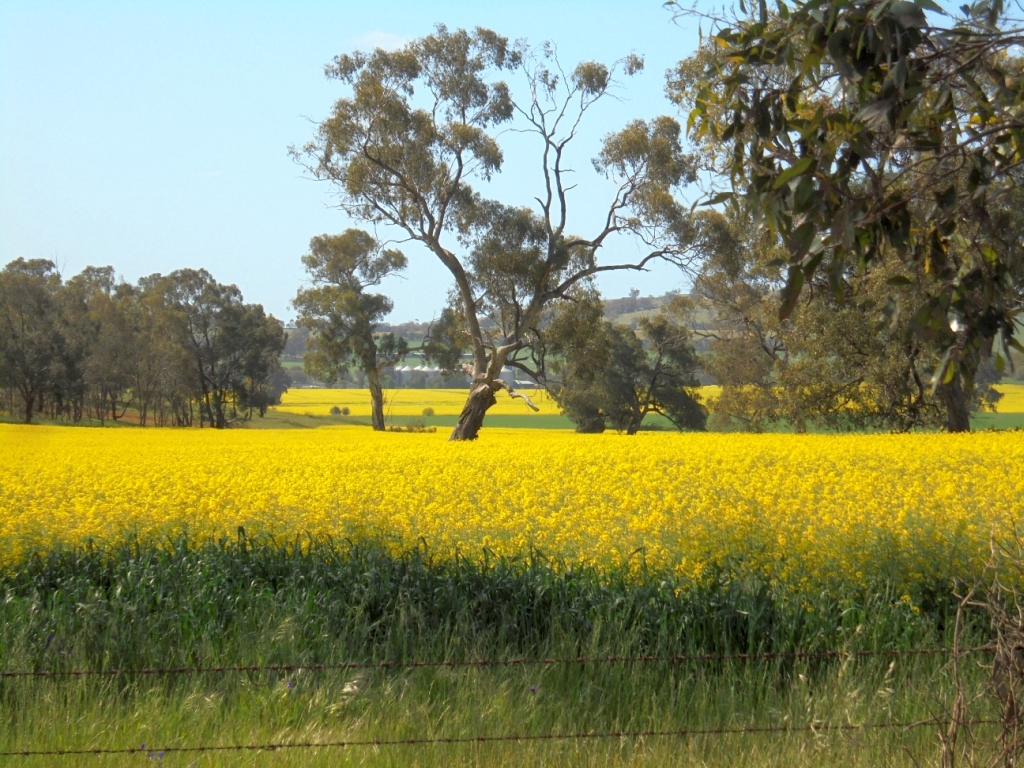 Spring and GM Canola